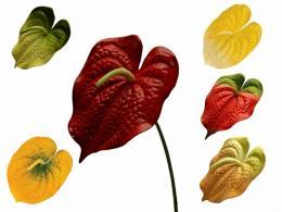 Květ-anturie - zvětšit obrázek